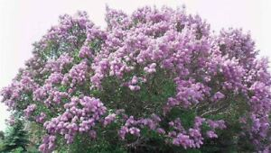 Bare Root Lilac Bush Purple JUMBO Size  (5) with planting instructions -