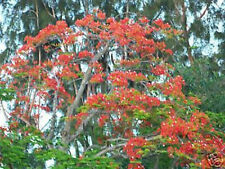 Royal Poinciana Delonix flamboyan flame tree exotic seed 50 seeds red flower