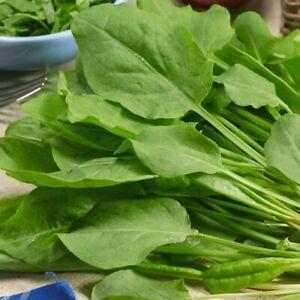 100 X Sorrel (Rumex acetosa) Herb Seeds Gardener's Selection