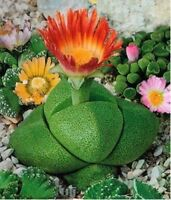 Lithops Seeds Living stones 5 seeds Ukraine Литопс Живые Камни Gardener's dream