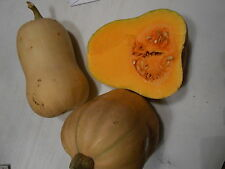 Courge Butternut x 20 graines BIO