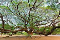 Exot Pflanzen Samen exotische Saatgut Zimmerpflanze Zimmerbaum REGENBAUM