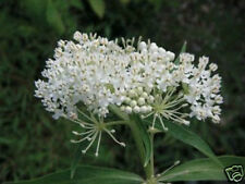 Asclepias Incarnata White Ice Ballet Milkweed 25 seeds Monarch butterfly food