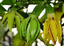 Best Artabotrys siamensis Climbing Ylang-Ylang 10 Seeds Original From Thailand.