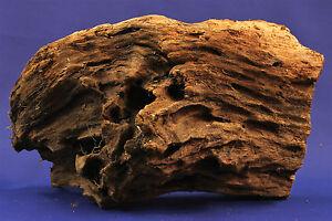 Echtholz Mangrovenholz -> imposante Mangrovenwurzel *43cm* NEU MGL58