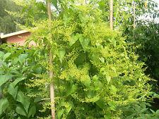 """Caucasian Spinach – Hablitzia tamnoides """"wild variety""""  – 100 fresh seeds"""