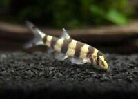 Golden Zebra Loach (Botia histrionica) - Live Freshwater Fish Bottom Feeder