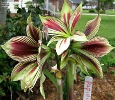 2 Pcs Amaryllis Pappilo Bulbs,Hippeastrum Bulbs (they are not Hippeastrum seeds)