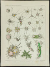 1879 - Matrice medicina Ameba - Ameba Radiosa / Spongilla Ameboidi - Leidy