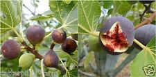 Rare Fig 20 Seeds, Ficus carica, Fig Tree Seeds, Fruits Seeds, Plant Home Garden