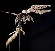 Authentic Fossil Mosasaur Halisaurus Arambourgi Skeleton on stand