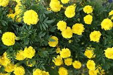 Tagetes gelb - 100 Samen