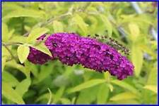 Evil Ways Butterfly Bush! 50+ Seeds! Lime Green Leaves! Easy to grow! comb. S/H