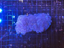 CE- WYSIWYG Colony Purple Bubble Coral - Live Coral Frag #B3