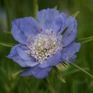 Scabious 'Perfecta Blue'/ Scabiosa caucasica/ Pincushion/1st yr flowers/50 Seeds