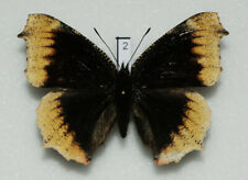 Nymphalidae - Nymphalis antiopa - Camberwell Beauty - hygieia aberration #2