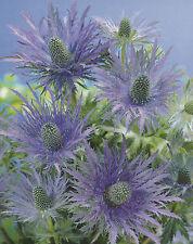 "Eryngium alpinum Blue Star Mannstreu Blaue Distel ""3 Wurzelstöcke"" Staude"