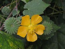 300 Abutilon indicum Seeds, Country Mallow, Abutilon, Indian abutilon
