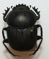 DD31 SCARABAEIDAE Scarabaeus(Kheper) subaenneus FROM TOGO  rolling dung beetle
