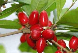 MIRACLE FRUIT Plant Bonsai Synsepalum Dulcificum 2 years old Tropical Rare Tree