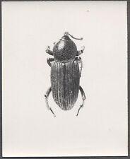 Unusual Vintage Photo Beetle Bug Scientific Specimen Entomology 258103