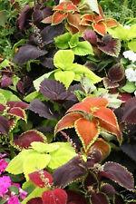 "400 Coleus Seeds ""Rainbow Mix"" ~ 117mg Decorative Plant Gardening Blue Flowers"