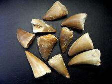 "1 1/4 "" - 1 1/2 "" Medium Mosasaur Tooth Moroccan Fossil Teeth 10 pcs"
