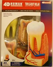 4D Human Anatomy Triple Root Molar Snap Together Puzzle Model Kit