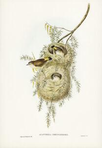 JOHN GOULD YELLOW-RUMPED ACANTHIZA VINTAGE BIRD ART PRINT POSTER