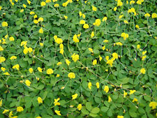 Peanut Seeds Grow your own Peanut plant Yellow flowers  From Thailand 50 Seeds.