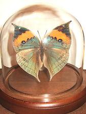 Orange Oak Leaf Butterfly Dome  (Kallima inachus)