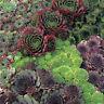 Sempervivum Species Mix - Appx 250 seeds - Rockery / border - Houseleeks #5119#2