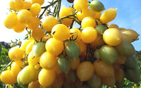 Barry's Crazy Cherry Tomato - Trusses of Teardrop-shaped Fruit -Australian Grown