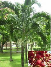 10 seeds Manila Palm, Christmas Palm,Wodyetia bifurcata,Foxtail Palm