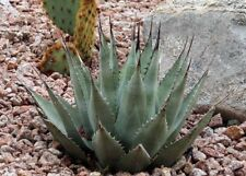 50 Seeds - New Mexico Agave - Agave parryi ssp. neomexicana