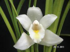 Cymbidium eburneum, Orchid species plant, India