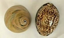 "Multi Tan 2.5"" Sea Shells - Lot of 2 Pieces"