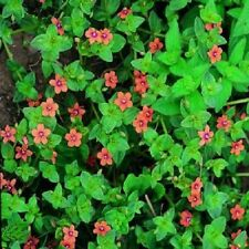 Wildflower Seeds - Scarlet Pimpernel - 1250 Seeds