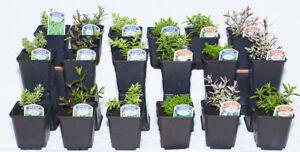 6 Excellent Mixed Garden Hebe Shrubs