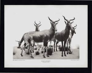 PHOTOGRAVURE CARL E. AKELEY SWAYNE'S HARTEBEEST SOMALILAND AFRICA TAXIDERMY