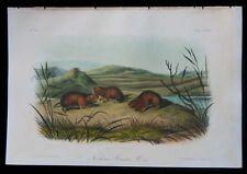 1854 Original Audubon 1st Ed Octavo Northern Meadow Mouse of Bog Lemming Pl 129