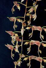 Gongora latisepala species Orchid Plant