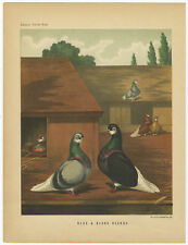 Antique Print-PIGEONS-BLUE AND BLACK BEARDS-Cassell-1874