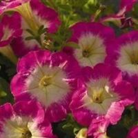 Petunia - Picobella Rose - 20 Seeds