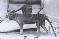 Vintage Tasmanian Tigers Photo 419 Oddleys Strange & Bizarre