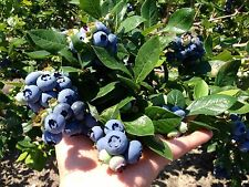GIANT Size⭐Hardy Winter ⭐BLUEBERRY⭐50-Fresh Seeds⭐Sweet & Delicious⭐UK Seller/