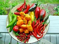 c64aa2cc4c2b CHILLI  Mixed  25+ seeds all types vegetable garden Hot Mild chili HEIRLOOM