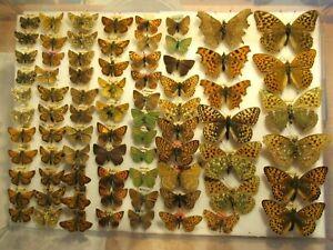 StoreBox 1 (78) British European Butterflies Moths Insect Lepidoptera Taxidermy