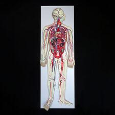 Anatomical Human Circulatory System Model - Medical Skeleton Anatomy