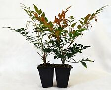 "Nandina Domestica ""Gulf Stream"" (Heavenly Bamboo) - 2 Pack Hardy Shrub Mature"